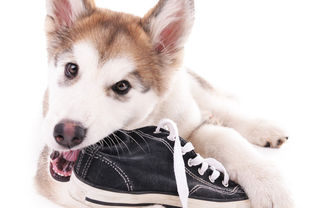 Help for Dogs that like to Chew